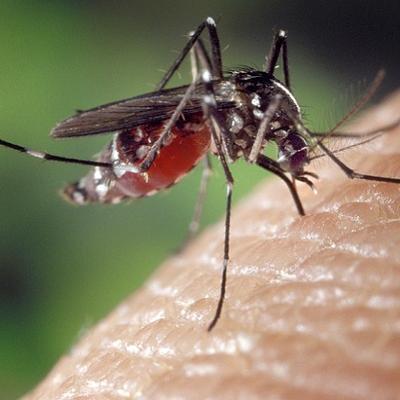demam berdarah, demam dengue, nyamuk aedes aegypti