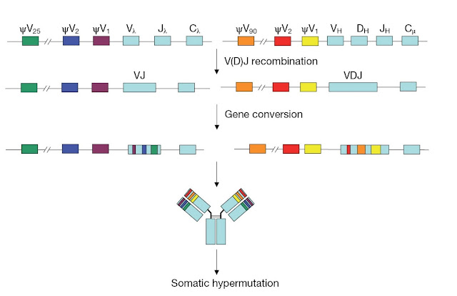 Immunoglobulin diversification using gene conversion