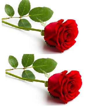 Rose meaning in tamil, telugu, marathi, kannada, malayalam, in hindi name, gujarati, in marathi, indian name, tamil, english, other names called as, translation
