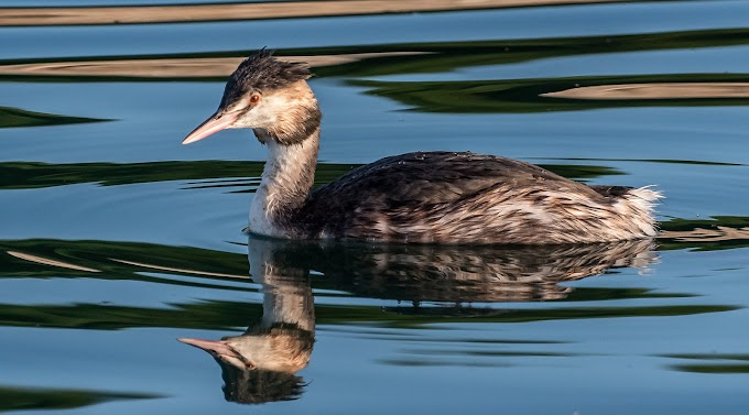 Little Grebe water birds
