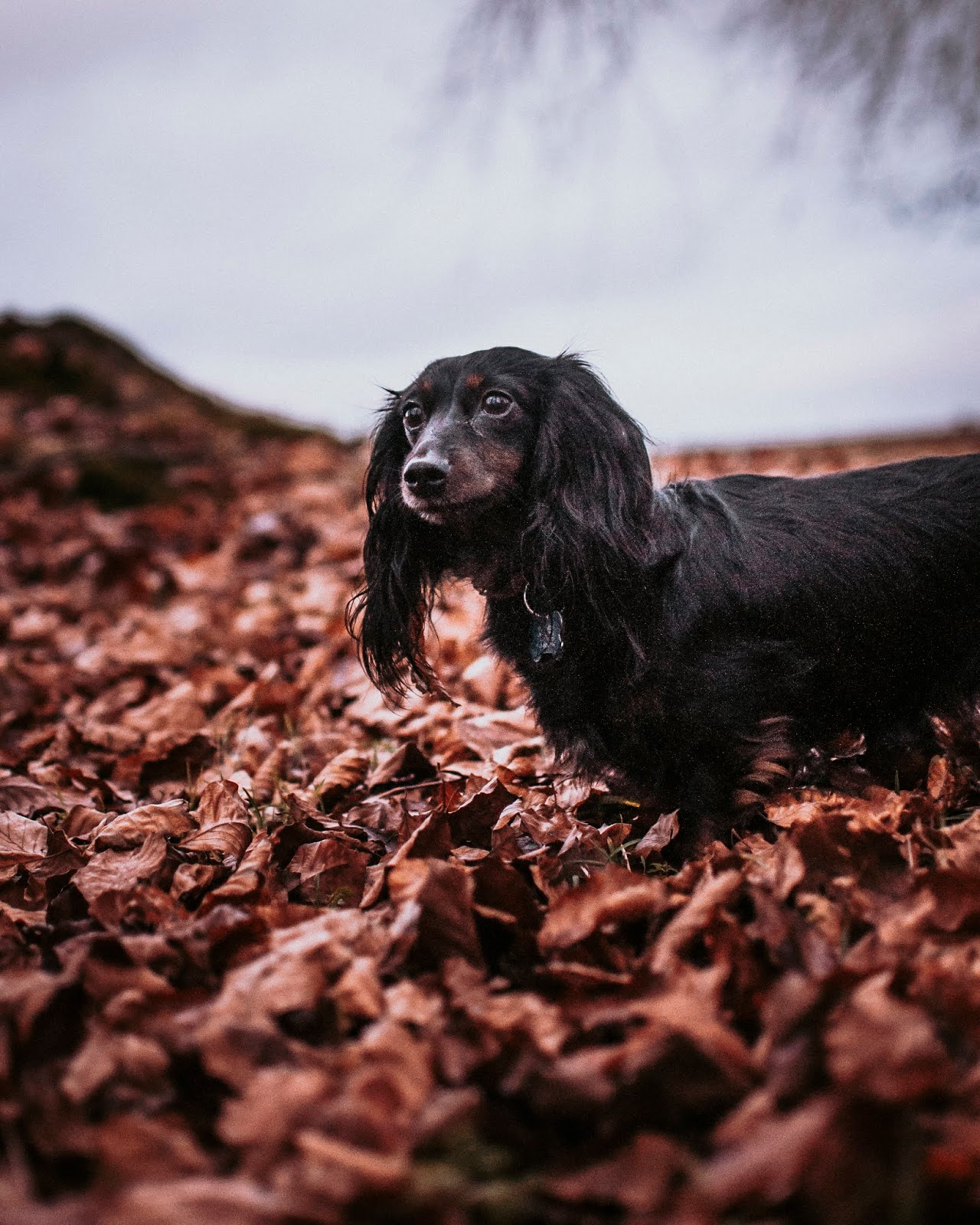 hetty mini dachshund leaves autumn liquid grain liquidgrain