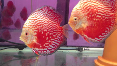 Harga Ikan Discus Red Stardust