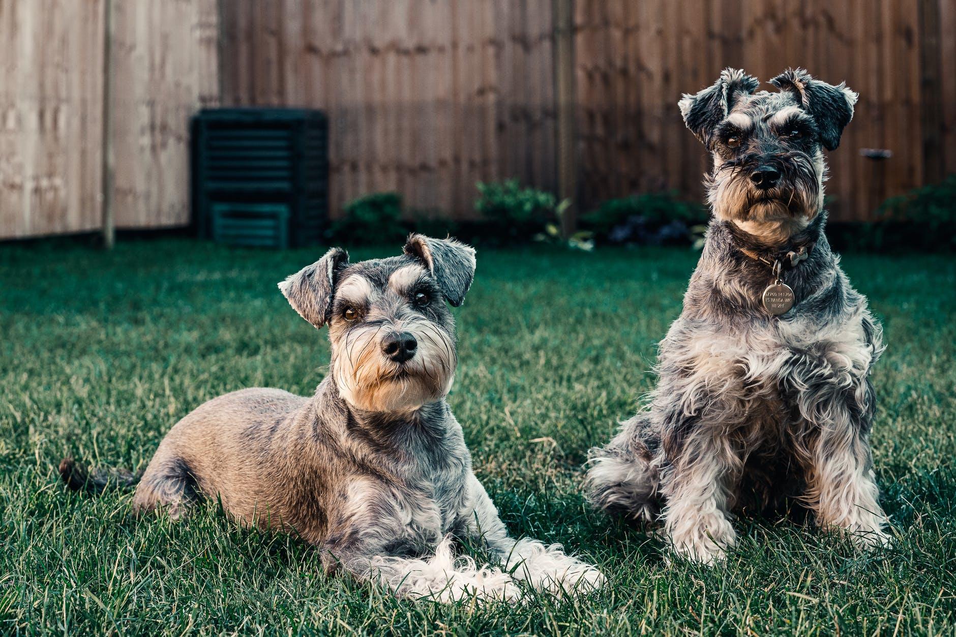 7 races de petits chiens qui vivront heureux en appartement