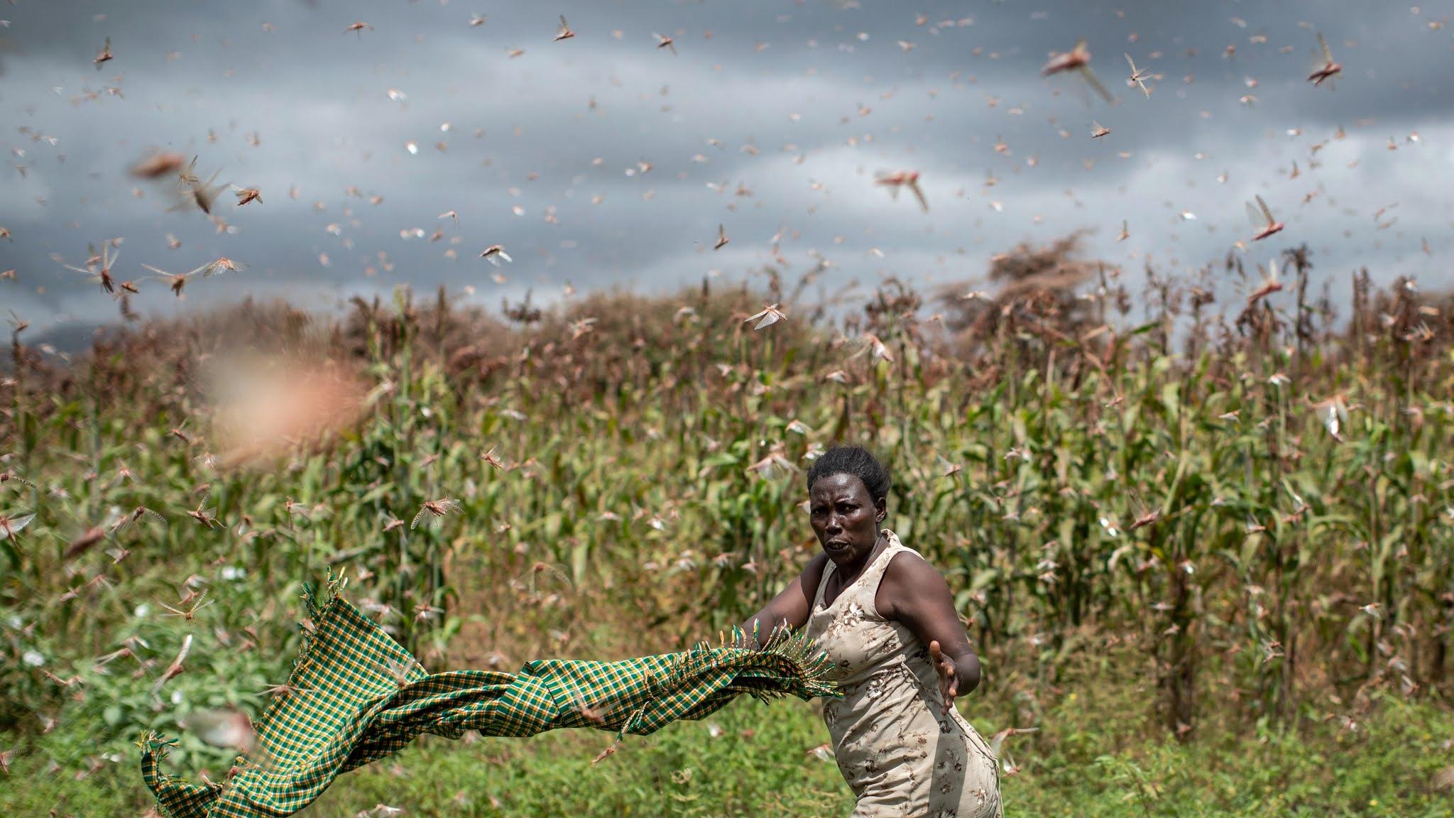Locust Swarm Attacks | Locusts Destroying Crops Around the ...