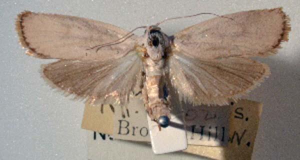 Xyloryctine Moths of Australia: Xylorycta amaloptis