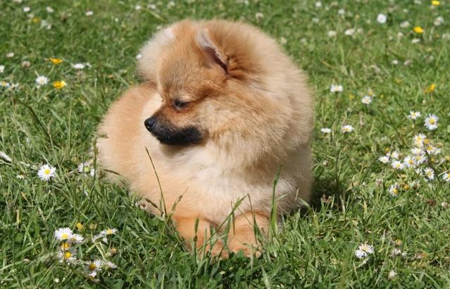 Pomeranian baby price in Tiruchirappalli, Pomeranian puppy sale Tiruchirappalli, Pomeranian puppy purchase Tiruchirappalli, Pomeranian dog Tiruchirappalli