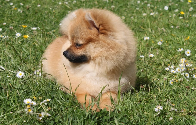 ORIGINAL BREED | Pomeranian Puppy Price in Howrah