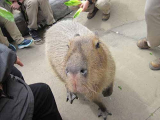 A Capybara During Feeding Time.