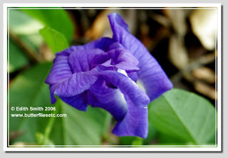 Blue Pea Vine (Clitoria ternatea) blue purple flower, host plant for Long-tailed skipper butterfly caterpillars