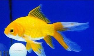 Budidaya ikan hias merupakan salah satu perjuangan agribisnis  Kabar Terbaru- KEUNTUNGAN BUDIDAYA IKAN KOMET