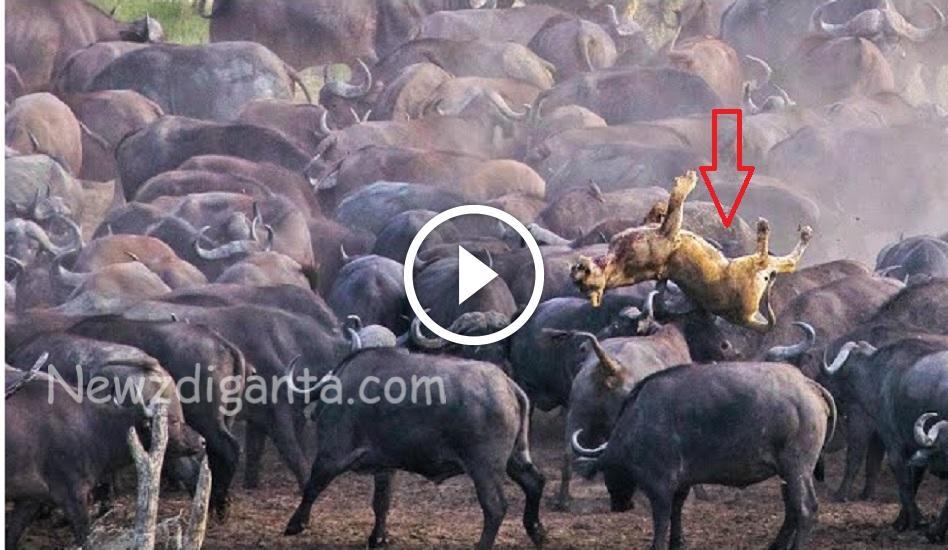 """""""சிங்கத்தை பந்தாடிய எருமை கூட்டம் – அமேசான் காட்டில் எடுத்த வீடியோ !!"""