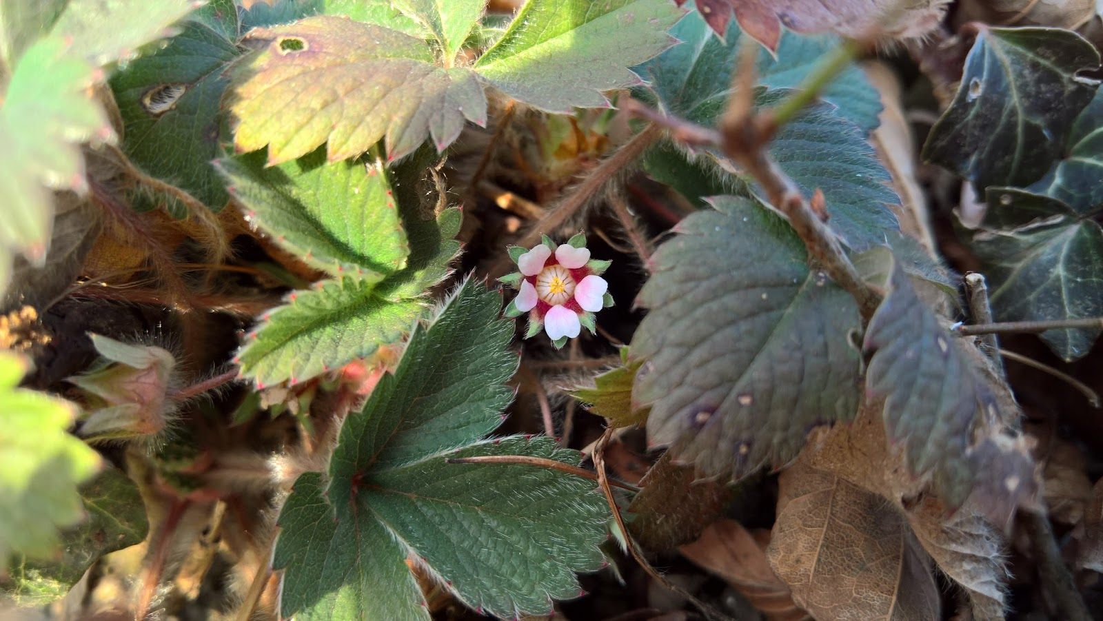 Fragaria vesca [Rosaceae] - Wild Strawberry