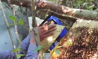 Apis dorsata: Απολαυστικό βίντεο από την Καμπότζη