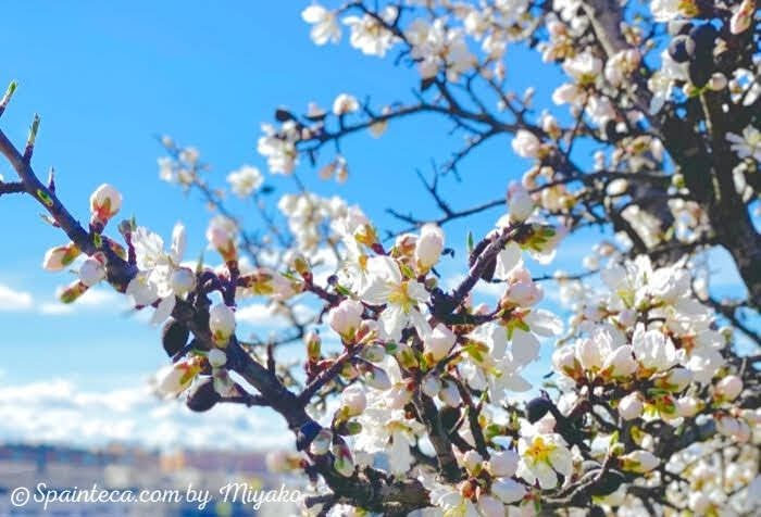 スペインの青い空の下で咲くアーモンドの花