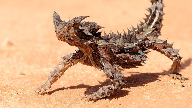reptiles, thorny devil, thorny dragon, mountain dragon, dragon, animals, desert, australia