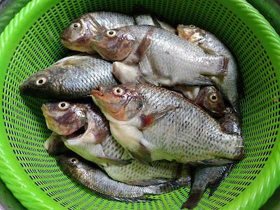 Cara Menghilangkan Bau Lumpur pada Ikan Air Tawar