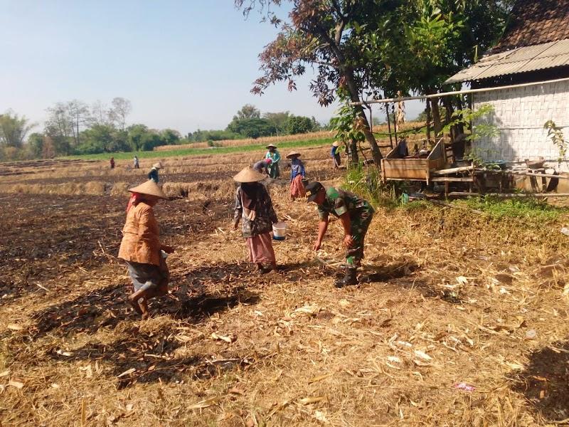 Babinsa Koramil 0819/13 Wonorejo Bantu Petani Menanam Jagung