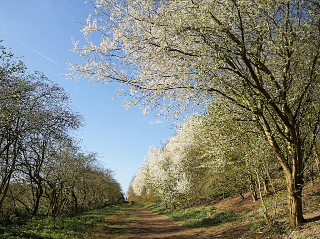 Large bank of cherry plum blossom along one side of path