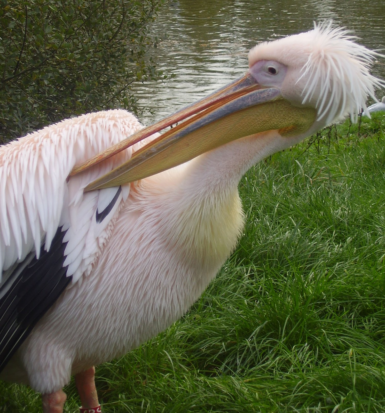 Animals World: Wallpapers Of Cute Animal Pink Pelican Poster