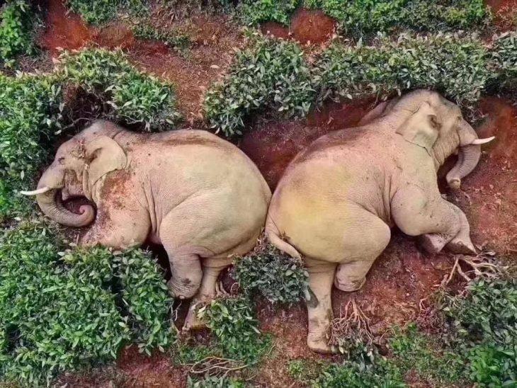Elefantes entraron a una granja y se tomaron todo el vino y se pusieron borrachos