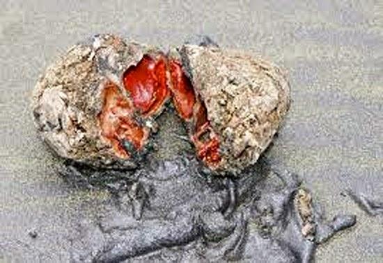 Pedra estranha - Pyura chilensis