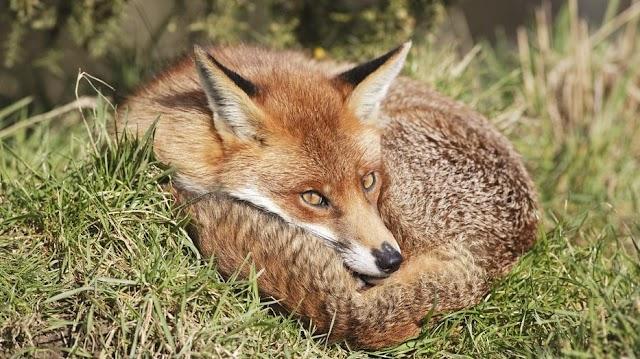 Nébih: októberben ismét vakcinázzák veszettség ellen a rókákat
