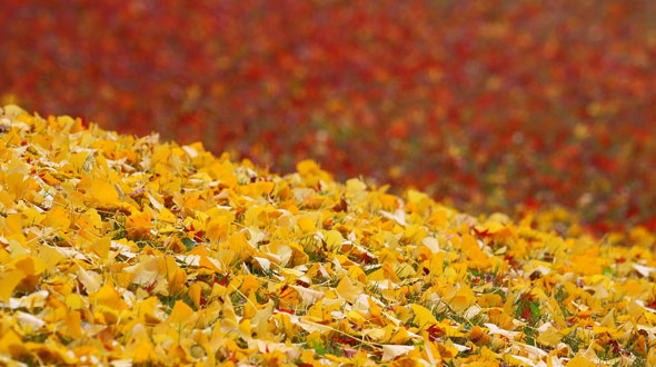 Hickory tree fallen autumn foliage