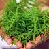 Mengetahui Manfaat Rumput Laut dan Kesehatannya