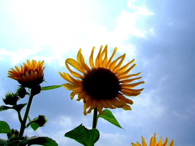 157 #ヒマワリ #花 #向日葵 #黄色
