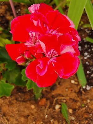 גרניום צרפתי אדום