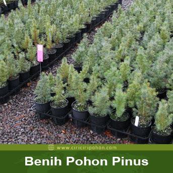 ciri ciri pohon benih pinus