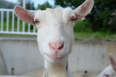 ご近所に住んでいる山羊のおトメさん