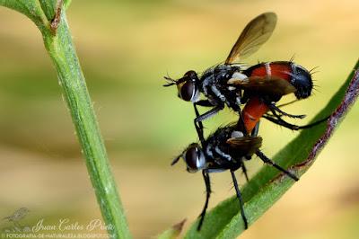Cylindromyia Brassicaria (fotografia-de-naturaleza.blogspot.com)