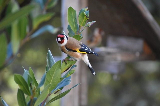 طيور الزينة صنف طائر الحسون european goldfinch