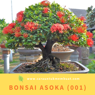 Bonsai Asoka (001)