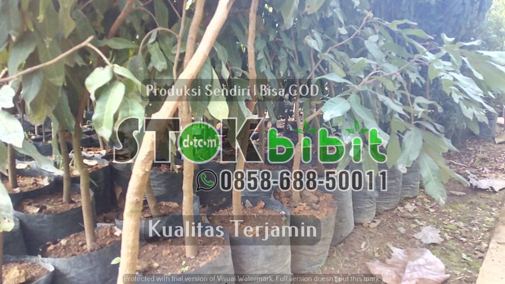 Hijaukan Kota Surabaya     Grosir     berkualitas