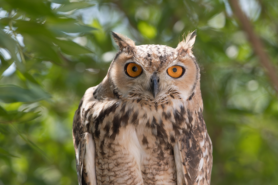 Pharaoh Eagle Owl