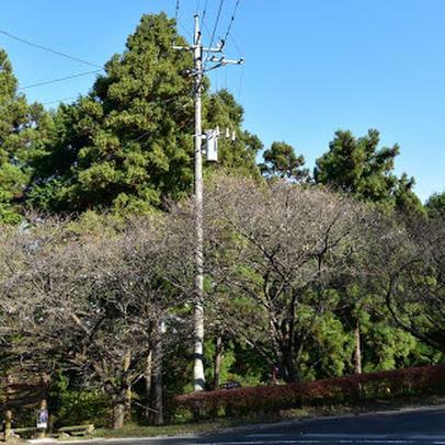 冬桜と紅葉ーその2……桜山公園
