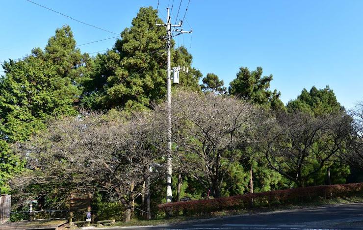 桜山公園入り口の冬桜並木