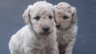 F2 labradoodle Temperament, Size, Lifespan, Adoption