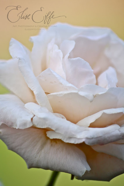 White Rose Close Up Photography Petals Beautiful