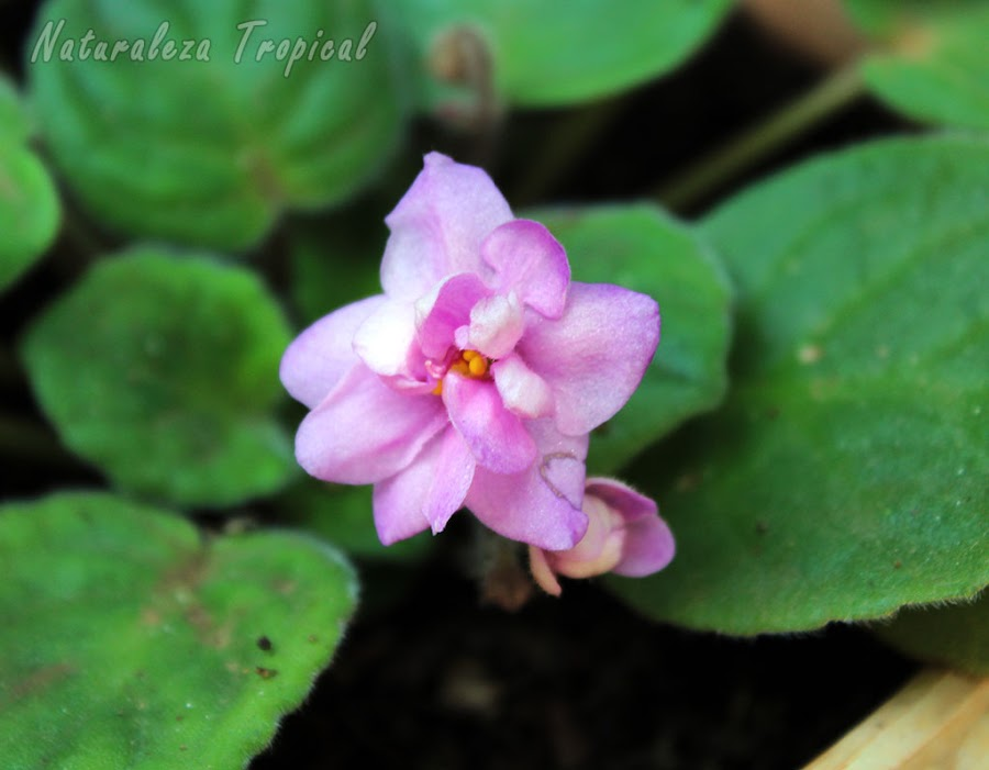 Flor de una especie de violeta africana, género Saintpaulia