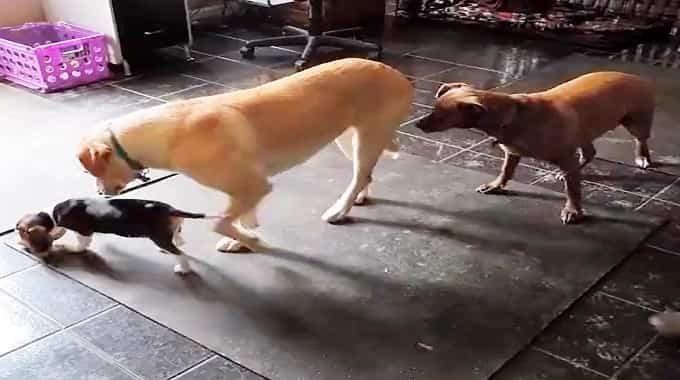 Sweet Rescue Puppy Informs Distrustful Feral Dogs That Not All People Are Cruel
