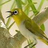 Cara Mengatasi Burung Pleci Macet Bunyi