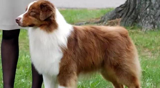 Australian Shepherd Dog Breed Info: Price, Characteristics, Aggressiveness & Facts