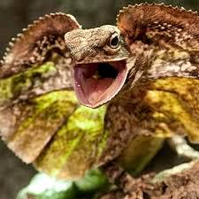 australian frilled neck lizard