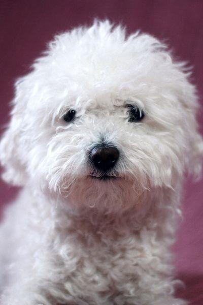 bolognese white dog breeder