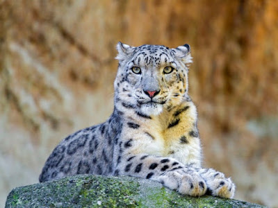 Snow leopards may look like overgrown housecats, but they are actually designed by the Master Engineer to thrive in cold, snowy, mountainous regions.