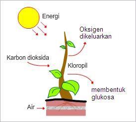 Reaksi fotosintesis merupakan reaksi penyusunan zat anorganik (CO2 dan H2O) menjadi zat organik (glukosa) yang dilakukan oleh klorofil dengan bantuan energi cahaya matahari