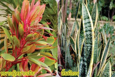 ต้นหมากผู้หมากเมีย (Cordyline) ต้นลิ้นมังกร (Sansevieria)